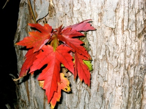Red November leaves clinging to tree.  (Pictures by Marylin Warner)